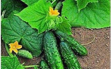 50 kusů semínek - okurky nakládačky