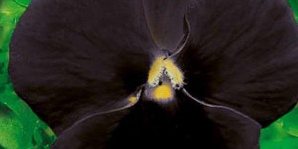 Maceška zahradní Black King - balení 150 semen - dodání do 2 dnů