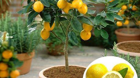 50 ks semínek citronovníku