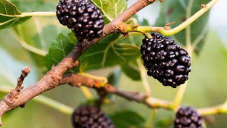 Moruše černá - 7 semen - skladovka - poštovné zdarma
