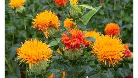 Šafrán k sušení - Světlice barvířská - 20 semen - dodání do 2 dnů