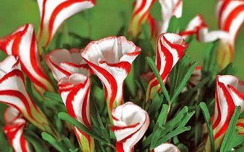 Balení 50 semen pestrobarevného šťavelu