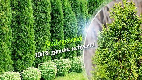 10 ks Túje Brabant pro živý plot + možnost hnojiva, 50-70 cm nebo 70-90 cm vysoké stromky