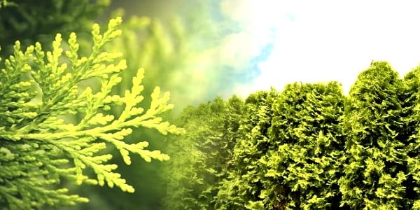 Thuja Occidentalis Brabant - 10 ks tújí ideálních pro živé ploty. Tyto stále zelené rostliny při koupi hnojiva s přírůstkem 30-50 cm, dorůstají do 2 metrů a díky kontejneraci poskytují téměř 100% záruku uchycení. Na výběr také varianta se speciálním hnoji