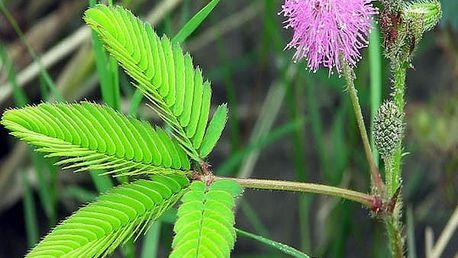 Citlivka stydlivá - 30 semen - poštovné zdarma