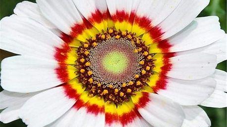 Kopretina kýlnatá - Polárka - 0,4 g semena - dodání do 2 dnů