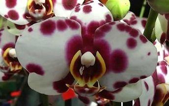 Velikonoční výstava orchidejí v Německu, možnost zakoupit různé odrůdy orchidejí.