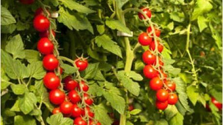 Cherry rajčátka keříčková v hroznech - 5 semen - dodání do 2 dnů
