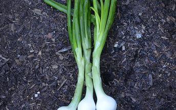 Cibule jarní lahůdková - 400 semínek - dodání do 2 dnů