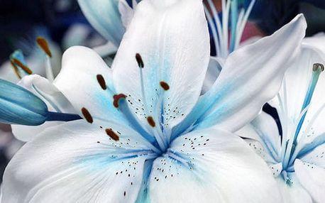 Semena modré lilie - 50 kusů