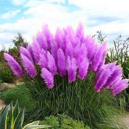 Semena okrasné pampové trávy v různých barvách - 500 kusů