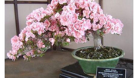 Vzácná semena bonsaje sakura s růžovými květy - 10 kusů