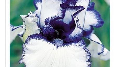 100 semen kosatců - 23 barev