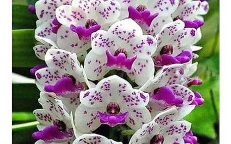 100 semen orchideje člunatce - 22 barev