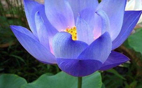 Semena vodní modré lilie - 10 kusů