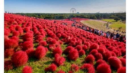 Semena červeného cypřišku - 300 kusů