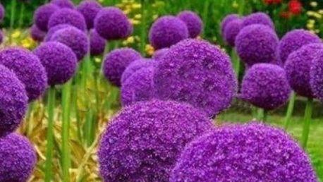 Semena Allium Globemaster neboli česneku okrasného obřích rozměrů - 30 ks