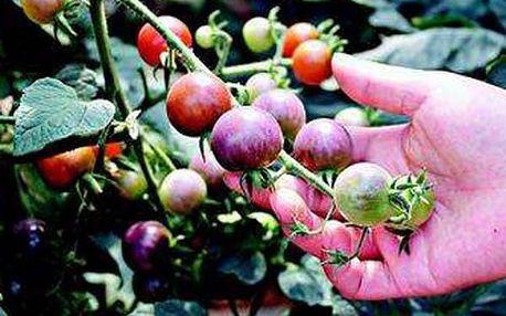 Mix barevných semen rajčat - 100 kusů