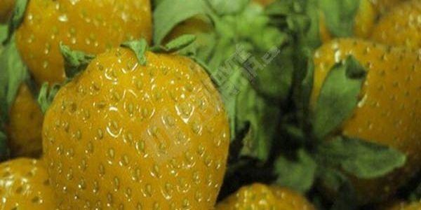 Semínka různobarevných jahod na balkon - 100ks semínek
