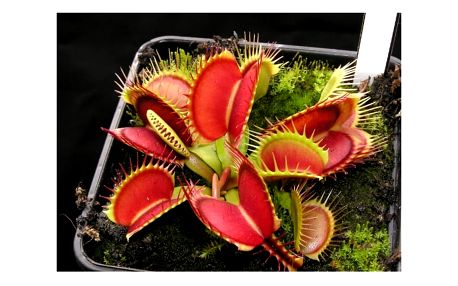 Semena masožravé rostliny - Mucholapka podivná - 100 ks