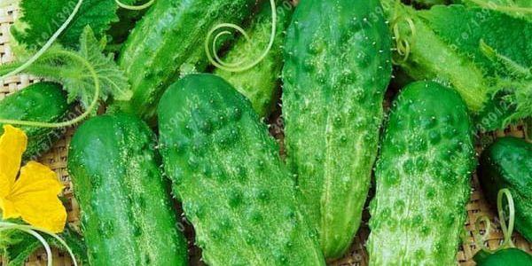 Semena okurky nakládačky - 20 kusů