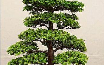 Semena japonského bonsaje - 28 semen
