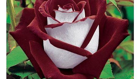 Semena vzácných odrůd růže - 100 ks