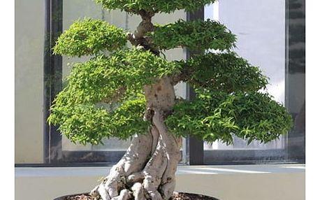Bonsai juniper - 20 semínek