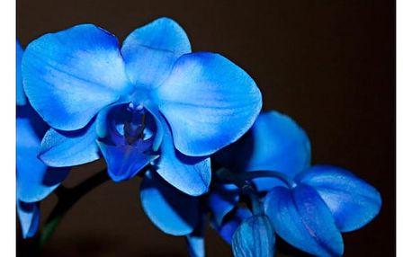 Modrá orchidej - 100 kusů