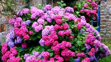 Semena hortenzie - 30 kusů