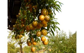 Pepino melounek - 100 semínek