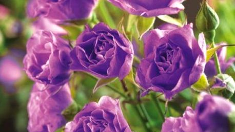Popínavá fialová růže - 200 semen