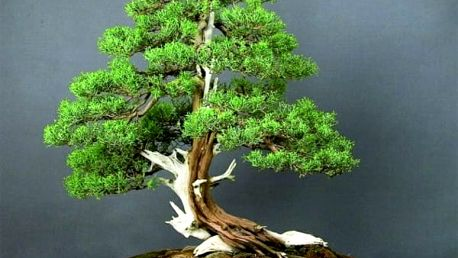 Bonsai juniper - 50 semínek