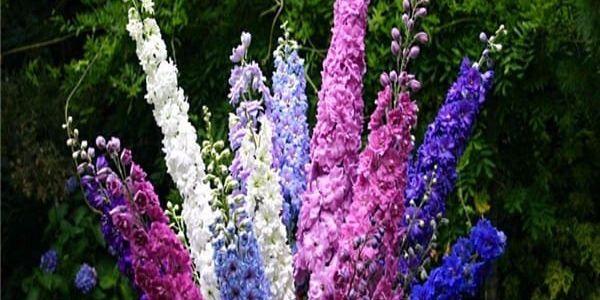 Semínka Stračka (Ostrožka) zahradní - 200 kusů