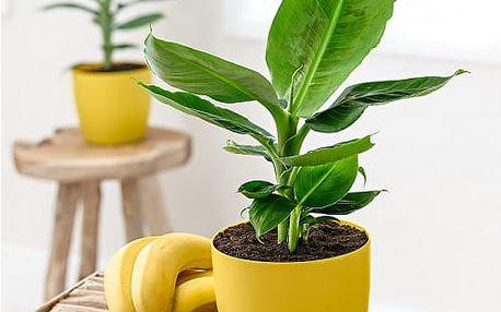 Semena banánovníku ve stylu bonsai - 100 ks