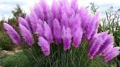 Semena vzácné pampové trávy fialové - 1000 ks