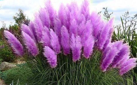 Semena vzácné pampové trávy fialové - 600 ks