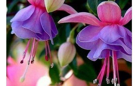 Semena Fuchsie 120 kusů - více druhů