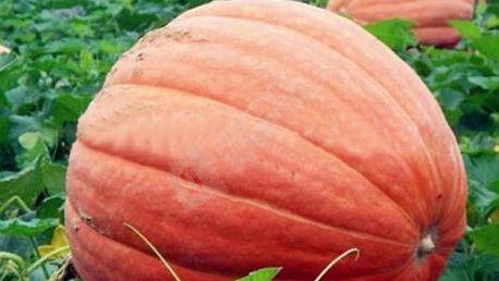 Semena obří dýně - 20 ks