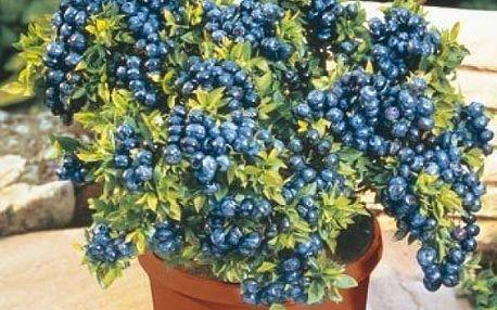 Semena brusnice borůvky - 100 ks
