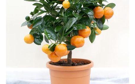 Semena pomerančovníku ve stylu bonsai - 20 ks