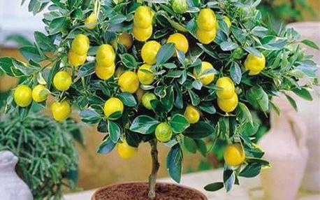 Semena citrusové bonsaje - 20 kusů