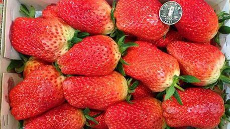 Semena obřích jahod (bez GMO) - 500 kusů