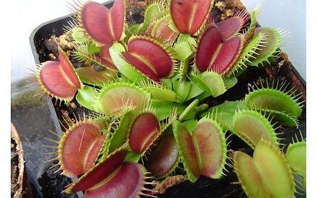Semena vzácných odrůd mucholapky podivné - 200 ks