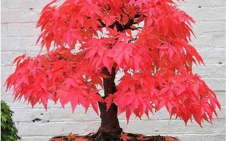 Bonsaj japonský javor v různých barvách - 50 kusů semínek