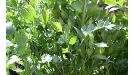 Libeček lékařský - 130 semínek - dodání do 2 dnů