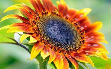 Semena pestrobarevných odrůd slunečnice - 40 ks