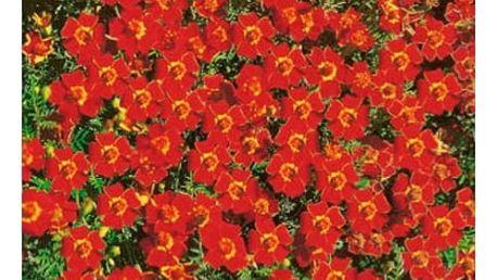 Aksamitník jednolistý - červená barva, 100 semen - dodání do 2 dnů