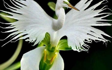 Semínka japonské volavky - Habenaria radiata