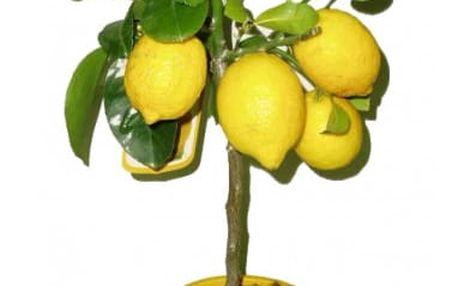 Semena citronovníku ve stylu bonsai - 20 ks